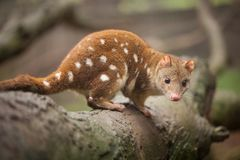Quoll Looking at Camera. Close up of an inquisitive looking quoll. Australia. These animals are also known as spotted quoll or tiger quoll Stock Image