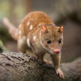 Quoll Walking Towards Camera. Close up of an inquisitive looking quoll. Australia. These animals are also known as spotted quoll or tiger quoll royalty free stock photos