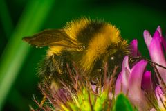Close up of Bumblebee on the clover with green background stock images