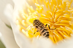 Close up insect and lotus. Insect on busy in white lotus Royalty Free Stock Photos