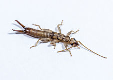 Close up of insect named Earwig Stock Image