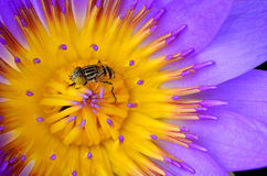 Close-up insect in purple lotus. Stock Photos
