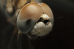 Close up of insect. A close up of an insect's head Stock Photos