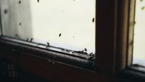 Close-up of insects. A cluster of flies on the window. Nature stock footage