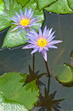 Close-up inside of beautiful violet lotus Royalty Free Stock Photos