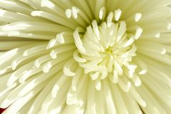 Close up of inside of white spider mum Royalty Free Stock Photos