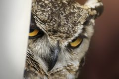Close up of the intense looking of an owl royalty free stock photos