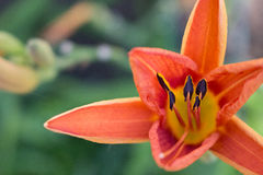 Close up of interior of Daylily flower opening up with stamens, Stock Images