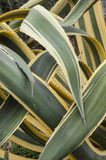 Close up of interleaved leaves of  agave americana marginata. Stock Photos