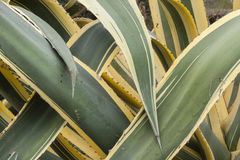 Close up of interleaved leaves of  agave americana marginata. Stock Images