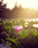 Close up Ipomoea pes-caprae with warm light. In the morning sunrise stock photo