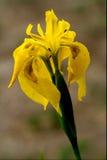 Close up of a  iridacee wild yellow Stock Photo
