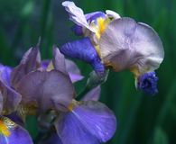 Close-up of iris flower Royalty Free Stock Image