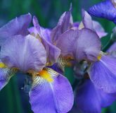 Close-up of iris flower Stock Images