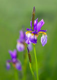 Close up of Iris flowers on green background Stock Photo