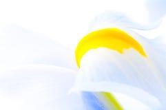 Close up of Iris petal Royalty Free Stock Images