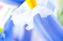Close up of Iris petal Stock Image