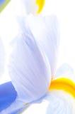 Close up of Iris petal Stock Photography
