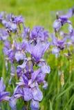 Close-up of iris plant Royalty Free Stock Photo