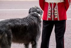 Close up of Irish Guard soldier with Irish Wolfhound dog standing to attention, London UK royalty free stock image
