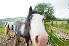 Close up of Irish horse, Wicklow Mountains, Ireland. Close up of nose on Irish horse in green paddock of Wicklow Mountains, Ireland on sunny day Royalty Free Stock Image