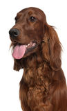 Close-up of Irish Setter, 1 year old Royalty Free Stock Photo
