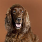 Close-up of Irish Setter, 5 years old Stock Image