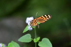 Isabella`s longwing beautiful butterfly of the tropics stock images