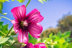 Close up of Island Tree Mallow bloom. Close up of Island Tree Mallow Malva assurgentiflora, Ulistac Natural Area, California; blue sky background Royalty Free Stock Image