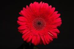Close up isolado vermelho da flor em botão fotografia de stock royalty free