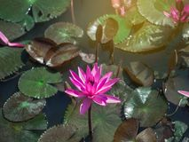 Close-up of isolated blooming pink water lily or lotus flower with leaves in a pond stock images
