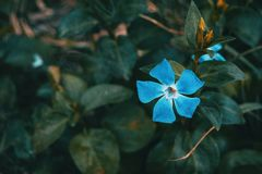 Close-up of an isolated and blue flower of vinca major. With leaves background stock photography