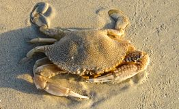Close up of isolated crab with impressive claws in the sand on Jamaica stock photography