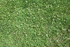 Close Up Isolated Green Grass with White Florals Royalty Free Stock Image