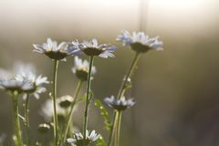 Close-up isolated group of tender beautiful wild white daises lit by morning sun growing on high stems in field or garden on blurr Stock Photos