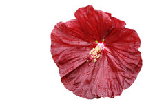 Close-up of  isolated  hibiscus moscheutos Stock Images
