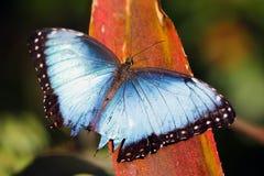 Blue Morpho Butterfly, Santa Elena, Costa Rica