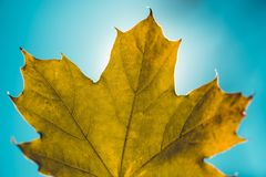 Close up of isolated maple tree leaf against sun. With clear sky in background royalty free stock images