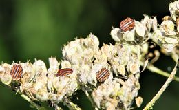 Close up of isolated red and black striped minstrel shield bugs Graphosoma lineatum on a faded white flower in autumn stock photography