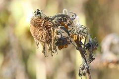 Close up of isolated sad brown faded sunflower Helianthus annuus blossom with hanging head in autumn with blurred background royalty free stock image