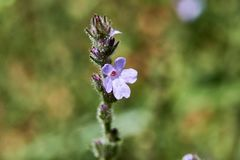 Close Up of Isolated Texas Vervain Verbena halei flower. Springtime in Texas royalty free stock photo