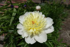 Close up of ivory flower of Paeonia officinalis. Closeup of ivory flower of Paeonia officinalis stock image