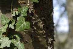Close-up ivy Royalty Free Stock Images