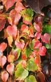 Close up of ivy leaves Stock Images