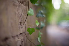 Close up of Ivy Stock Image