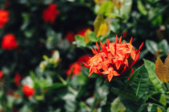 Close up of Ixora coccinea flower Stock Photo