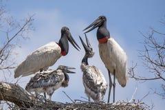Close-up Jabiru Stork Family Talking Royalty Free Stock Photo