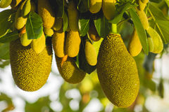 Close up jack-fruit. Growing on the tree Stock Photo