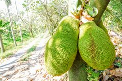 Jack fruit on tree Royalty Free Stock Photo