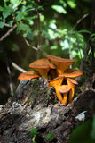Close up of jack-o'-lantern mushroom (Omphalotus olearius).  Stock Images